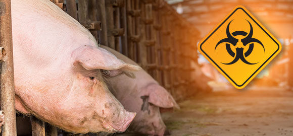 gvf-afrikanische_schweinepest